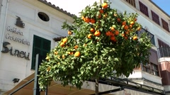 Spain Mallorca Island Sineu village 010 ripe oranges on a tree in the city Stock Footage