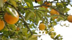 Lemon Tree With Ripe Lemons Stock Footage