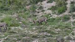 Two females of Ibex (Capra ibex) in Alpine Praire Stock Footage