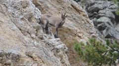 Ibex, Boquetin, Capra ibex,  female, Stock Footage