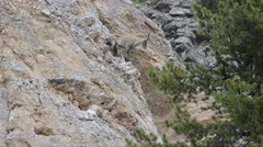Ibex, bouquetin, Capra ibex,   female Stock Footage