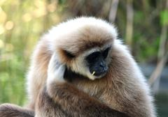 Stock Photo of Detailed view of the gibbon ape