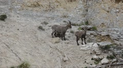 Ibex, Capra ibex , bouquetin, female,  Gran Paradiso National Park, Italy Stock Footage