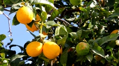 Stock Video Footage of Lemon tree branch with leaves  and fruits on blue sky background