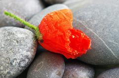 Closeup of dew drops on a poppy petal Stock Photos