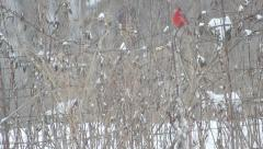 Red Male Cardinal Perches On A Fence In The Snow Stock Footage