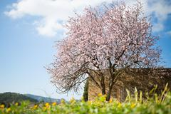 Beautiful almond tree in spanish landscape Stock Photos