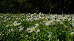 Field of daisies in Silver Falls State Park Stock Footage