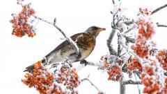 Thrush eats rowanberry on the winter Stock Footage