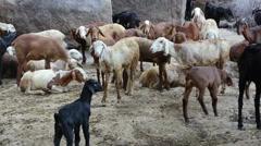 Lamb India Stock Footage