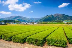 Tea plantation landscape in Yokkaichi, Japan. Stock Photos