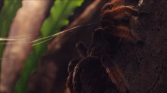 Mexican golden red tarantula. Stock Footage