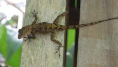 Gecko on a wall Stock Footage