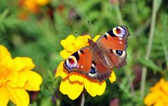 Detailed view of a butterfly on a blooming plants - stock photo