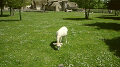 Goat in Versailles, France Stock Footage