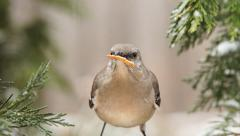 Northern Mockingbird Stock Footage