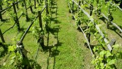 Vineyard in Versailles - tilt-up Stock Footage