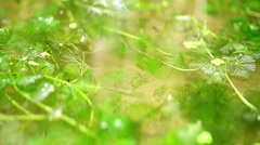 Water plants in the pond with small fish Stock Footage