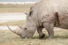 Rhinocores Hunted - stock photo