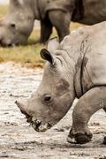Young White Rhino Walking - stock photo