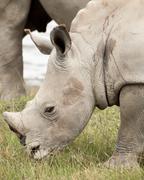 Young Rhino Grazing - stock photo