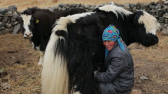 Woman milks a yak - stock footage