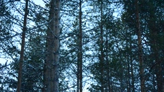 Pine trees swaying in wind Stock Footage