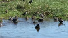 Blackbirds Bathing, Birdbath Stock Footage