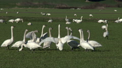 Swans Squabbling, Having a  Discussion Stock Footage