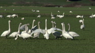 Stock Video Footage of Swans, Trumpeter, Bird, Birds, Squabble, Argument, Discussion, 4K
