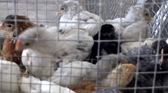 Spain Mallorca Island Sineu village 024 many chicks in cage on farmers market Stock Footage
