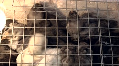 Spain Mallorca Island Sineu village 023 lot of chicks in cage on weekly market Stock Footage