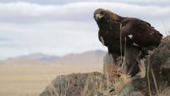 Golden eagle soars Stock Footage