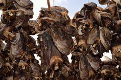 stockfish structure full of cod and other fish hanging to dry in northern norway - stock photo