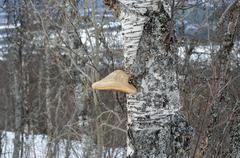 Huge single fungus on old mountain birch tree Stock Photos