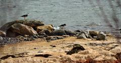 two beautiful oystercatcher birds on sea shore grass in summer - stock photo