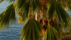 Date palm tree, Kaanapali Beach, Maui, Hawaii Stock Footage