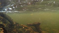 4K tree and branches filmed underwater in a strong current in the river Stock Footage