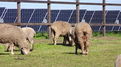Solar farm and Farmland sheep Stock Footage
