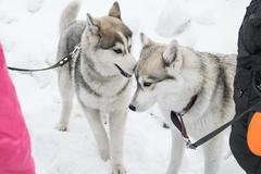 Two Huskies playing Stock Photos