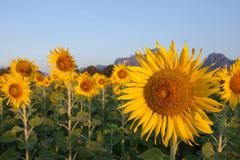 close up of yellow sunflowers blooming in field with beautiful light - stock photo