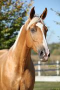 Amazing palomino horse with blond hair Stock Photos