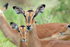 Gazelles - stock photo