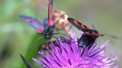 Five-spot burnets (Zygaena trifolii) are eating on Thistle Stock Footage