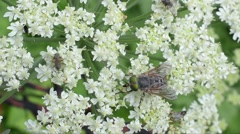 Several flies are eating on flower Stock Footage