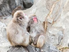 macaque sitting on the rocks - stock photo