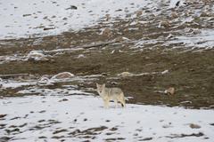 Coyote in snow Kuvituskuvat