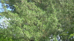 Pine tree at Naggar in Himachal Pradesh, India. Stock Footage