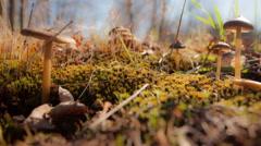 Toadstool Mushroom Time-lapse Stock Footage