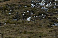Polar fox Kuvituskuvat
